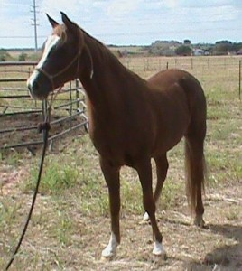 Arabian Horse Available for Adoption